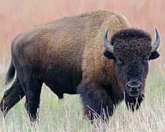 native american buffalo headdress